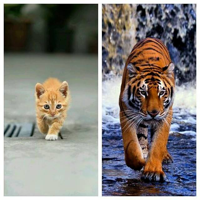 tiger kitten